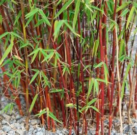 4ft 'Asian Wonder' Fargesia scabrida | Red Bamboo | 5L Pot