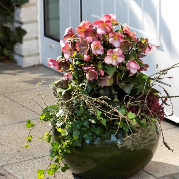 2ft Helleborus 'Ice N Roses Early Rose' | 4.5L Pot | By Helleborus Gold Collection