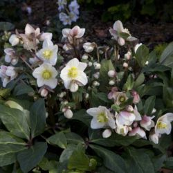 2ft Helleborus 'Snow Dance' | 4.5L Pot | By Helleborus Gold Collection
