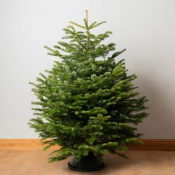 6ft Premium Cut Real Christmas Tree | Nordmann Fir