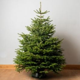 7ft Premium Cut Real Christmas Tree | Nordmann Fir
