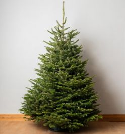 8ft Premium Cut Real Christmas Tree | Nordmann Fir