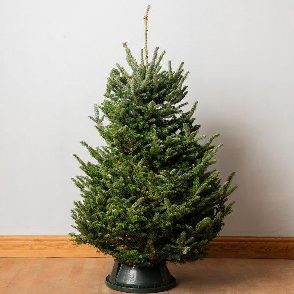 5ft Premium Cut Real Christmas Tree | Fraser Fir