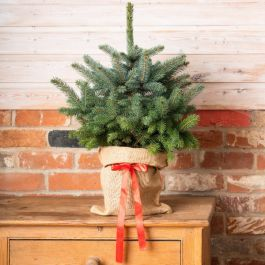 Pair of Potted Blue Spruce Trees | 60cm | Standard Grade