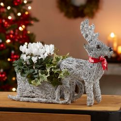 Reindeer with Sleigh | Cyclamen & Ivy | By Plant Theory