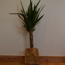 75cm Spineless Yucca with LED Lights | 2L Pot | By Plant Theory