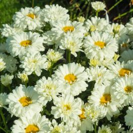 Leucanthemum 'Victorian Secret' | 3L Pot