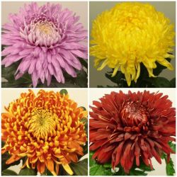 Early Flowering Chrysanthemum Collection | Outdoor Bloom | 5 x Plug Plants
