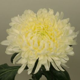 Chrysanthemum 'Allouise White' | Main Season Outdoor Bloom | 5 x Plug Plant