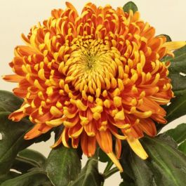 Chrysanthemum 'Astro Bronze' | Early Outdoor Bloom | 5 x Plug Plant