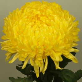 Chrysanthemum 'Creamist Golden' | Early Outdoor Bloom | 5 x Plug Plant
