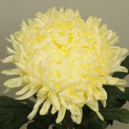 Chrysanthemum 'Creamist White' | Early Outdoor Bloom | 5 x Plug Plant