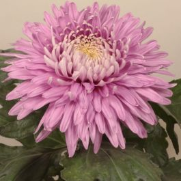 Chrysanthemum 'Pandion Pink' | Early Outdoor Bloom | 5 x Plug Plant