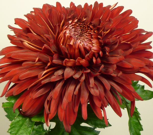 Chrysanthemum 'John Riley Red' | Early Outdoor Bloom | 5 x Plug Plant