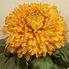 Chrysanthemum 'Bornholm Bronze' | Main Season Outdoor Bloom | 5 x Plug Plant