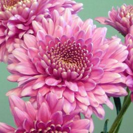 Chrysanthemum 'Gerrie Hoek Dark Pink' | Early Season Outdoor Spray | 5 x Plug Plant