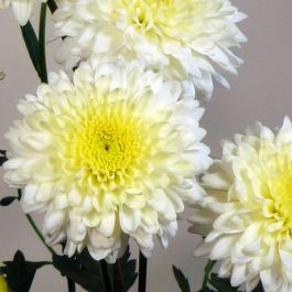 Chrysanthemum 'Gerrie Hoek White' | Early Season Outdoor Spray | 5 x Plug Plant