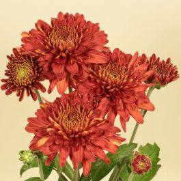 Chrysanthemum 'Lilian Hoek Red' | Early Season Outdoor Spray | 5 x Plug Plant