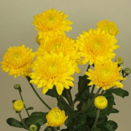 Chrysanthemum 'Pamela Yellow' | Early Season Outdoor Spray | 5 x Plug Plant