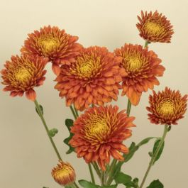 Chrysanthemum 'Pamela Bronze' | Early Season Outdoor Spray | 5 x Plug Plant
