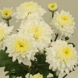 Chrysanthemum 'Julia White' | Main Season Outdoor Spray | 5 x Plug Plant
