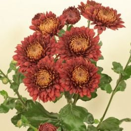 Chrysanthemum 'Payton Blaze Red' | Main Season Outdoor Spray | 5 x Plug Plant