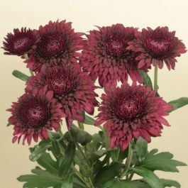 Chrysanthemum 'Smokey Purple' | Main Season Outdoor Spray | 5 x Plug Plant