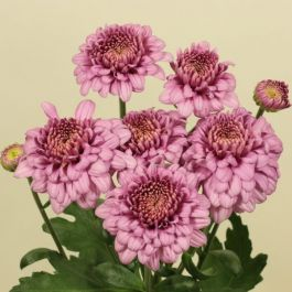 Chrysanthemum 'Payton Blaze Pink' | Main Season Outdoor Spray | 5 x Plug Plant