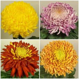 Indoor Bloom Chrysanthemum Collection | 5 x Plug Plants