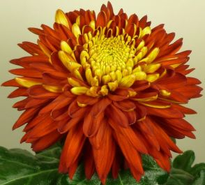 Chrysanthemum 'Bagley Tang Red' | Indoor Bloom | 5 x Plug Plant