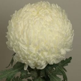 Chrysanthemum 'May Shoesmith White' | Indoor Bloom | 5 x Plug Plant