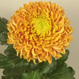Chrysanthemum 'Princess Armgard Bronze' | Indoor Bloom | 5 x Plug Plant