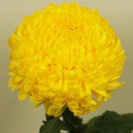 Chrysanthemum 'Riga Yellow' | Indoor Bloom | 5 x Plug Plant