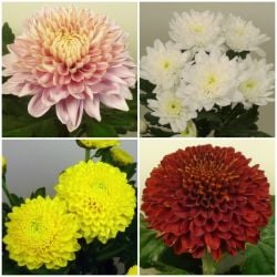 Indoor Spray Chrysanthemum Collection | 5 x Plug Plants