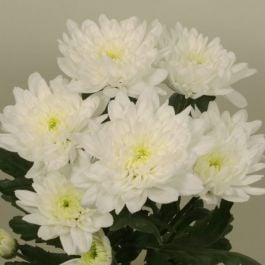 Chrysanthemum 'Baltica White' | Indoor Spray | 5 x Plug Plant