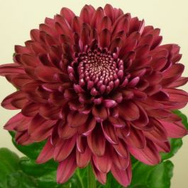 Chrysanthemum 'Jaguar Purple' | Indoor Spray | 5 x Plug Plant