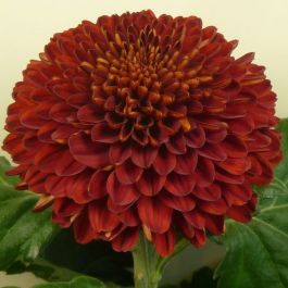 Chrysanthemum 'Kiev Red' | Indoor Spray | 5 x Plug Plant