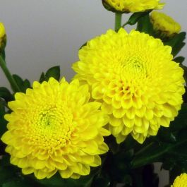 Chrysanthemum 'Minstreel Yellow' | Indoor Spray | 5 x Plug Plant