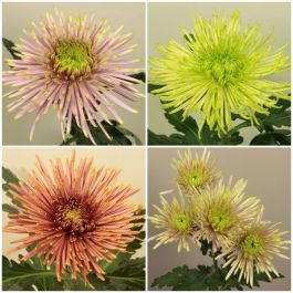 Chrysanthemum Collection | Crossover Series | 4 x Plug Plants