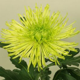 Chrysanthemum 'Tula Green' | Crossover Series | 5 x Plug Plant