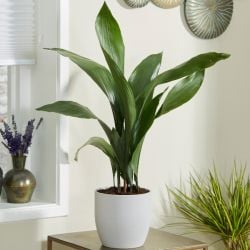 70cm Cast Iron Plant | Aspidistra elatior | 17cm Pot | By Plant Theory