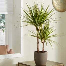 Dracaena marginata 'Golden Dragon' | 2L Pot | By Plant Theory