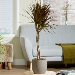 Braided Cane Dracaena marginata 'Magenta' | 3L Pot | By Plant Theory