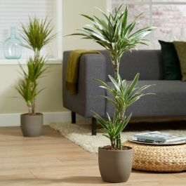 3 Cane Dracaena warneckii | 3L Pot | By Plant Theory