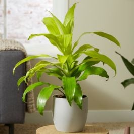 Dracaena deremensis 'Limelight' | 4L Pot | By Plant Theory