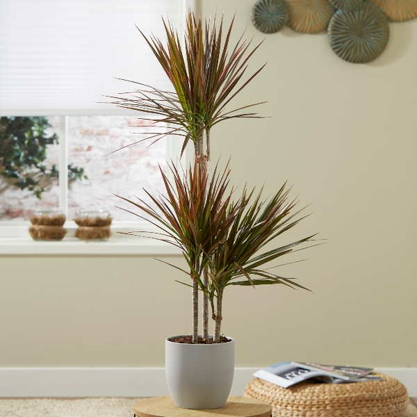 3 Cane Dracaena marginata 'Colorama' | 3L Pot | By Plant Theory