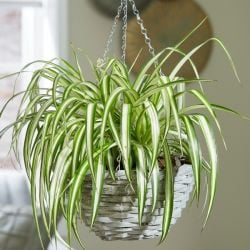 Spider Plant | Chlorophytum comosum | 23cm Hanging Pot | By Plant Theory