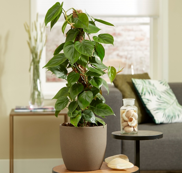 Philodendron scandens on Moss Pole | 3L Pot | By Plant Theory