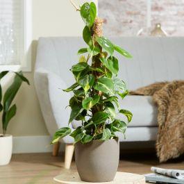 Devil's Ivy | Scindapsus aureum on Moss Pole | 4L Pot | By Plant Theory
