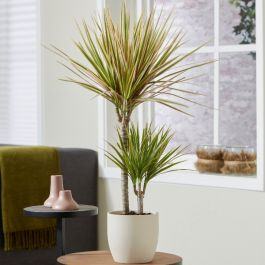 Dracaena marginata 'Rainbow' | 2L Pot | By Plant Theory